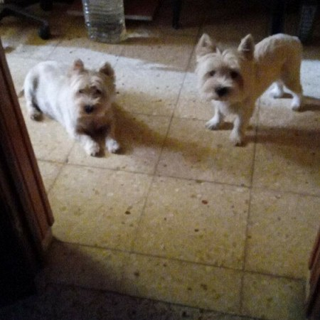 2 West Highland White Terrier